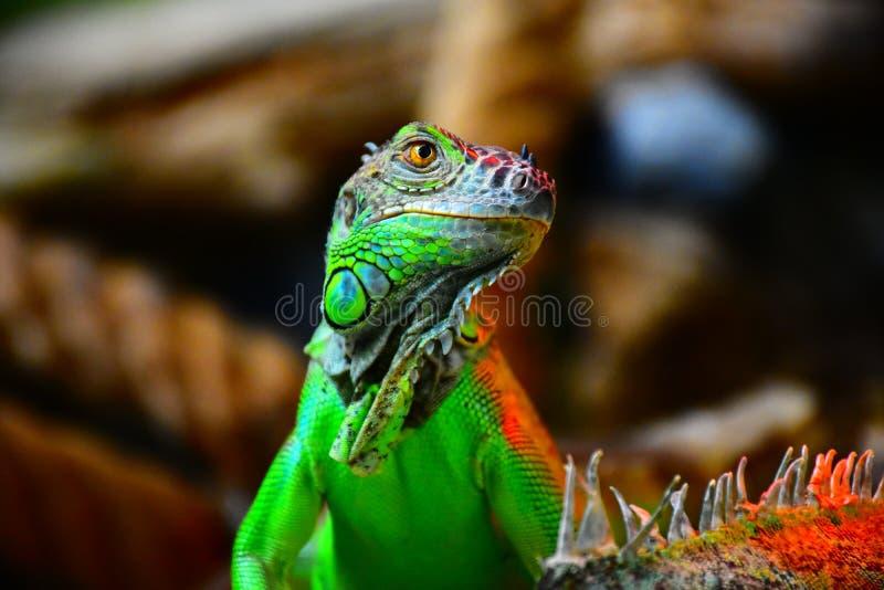 Iguane vert photographie stock