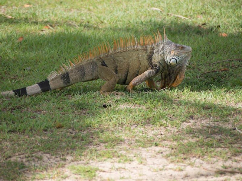 Iguane vert avec l'épine orange images libres de droits
