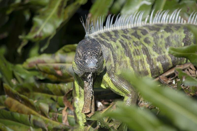 Iguane vert regardant l'appareil-photo avec les transitoires et la hampe photographie stock