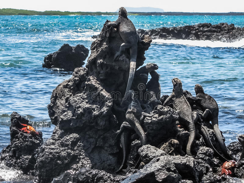 Iguanes à la mer, îles de Galapagos images libres de droits