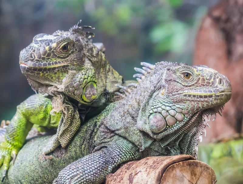 Iguanes image stock