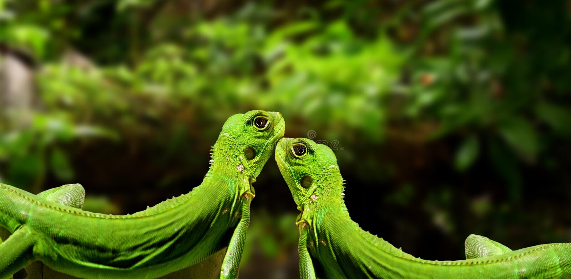 Iguanes dans l'amour image stock