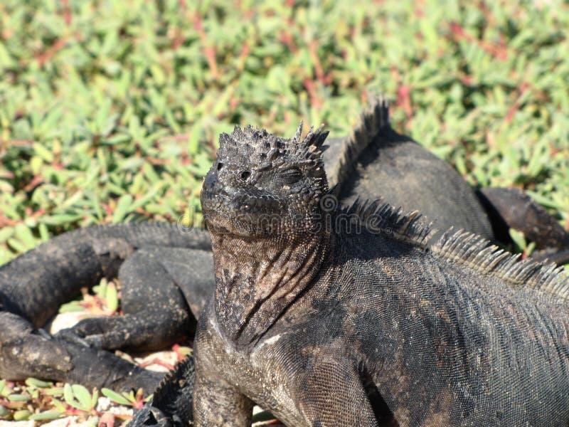 Iguanes de mer de Galapagos photo stock