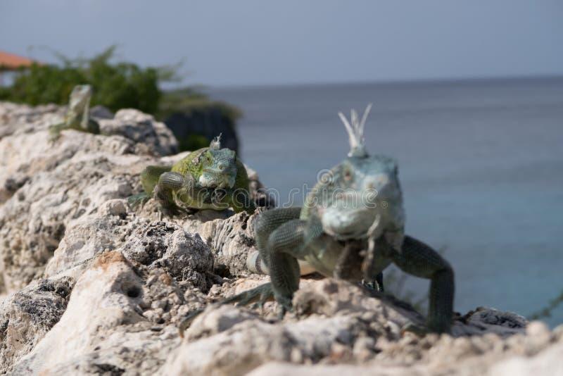 Iguanes marchant sur des roches photos stock