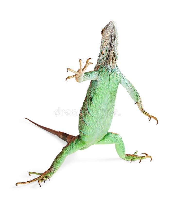 Iguany dźwigania Trwanie ręka fotografia royalty free