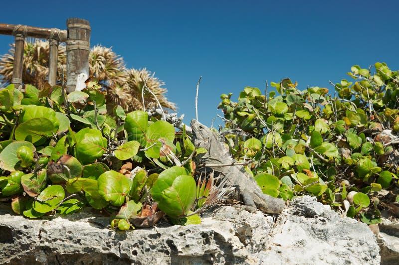 iguany Mexico tulum zdjęcie royalty free