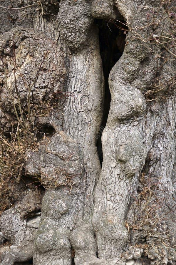 Ihåligt träd fotografering för bildbyråer