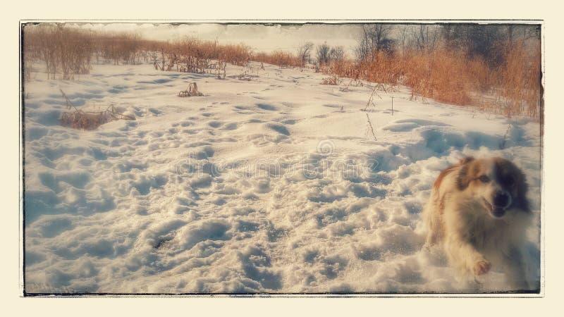 Ih de chien l'hiver image libre de droits