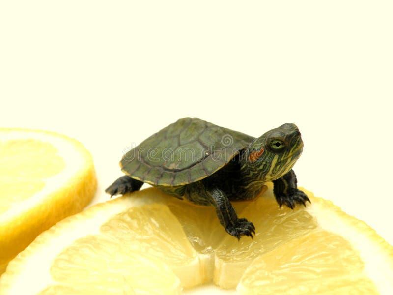 ii小的乌龟 库存照片