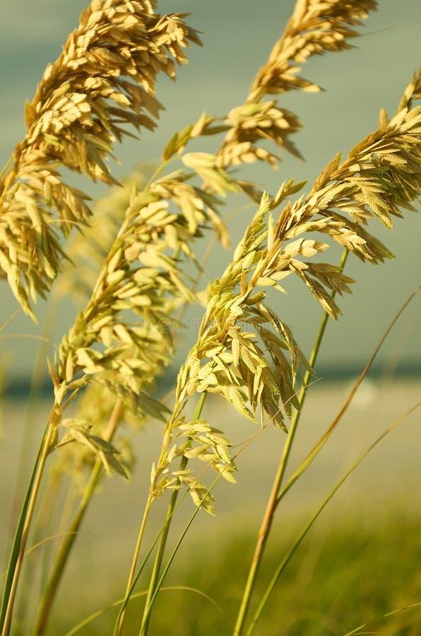 ii燕麦海运 库存图片
