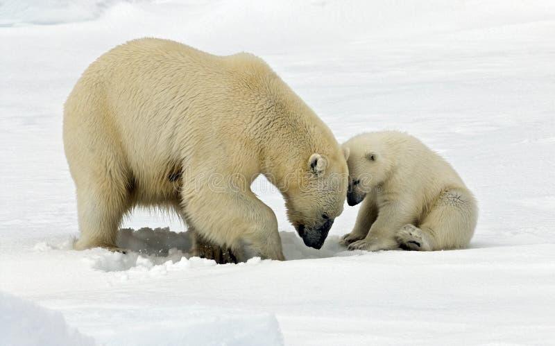 IJsbeer, πολική αρκούδα, maritimus Ursus στοκ εικόνες