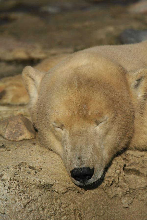 Ijsbeer stock foto