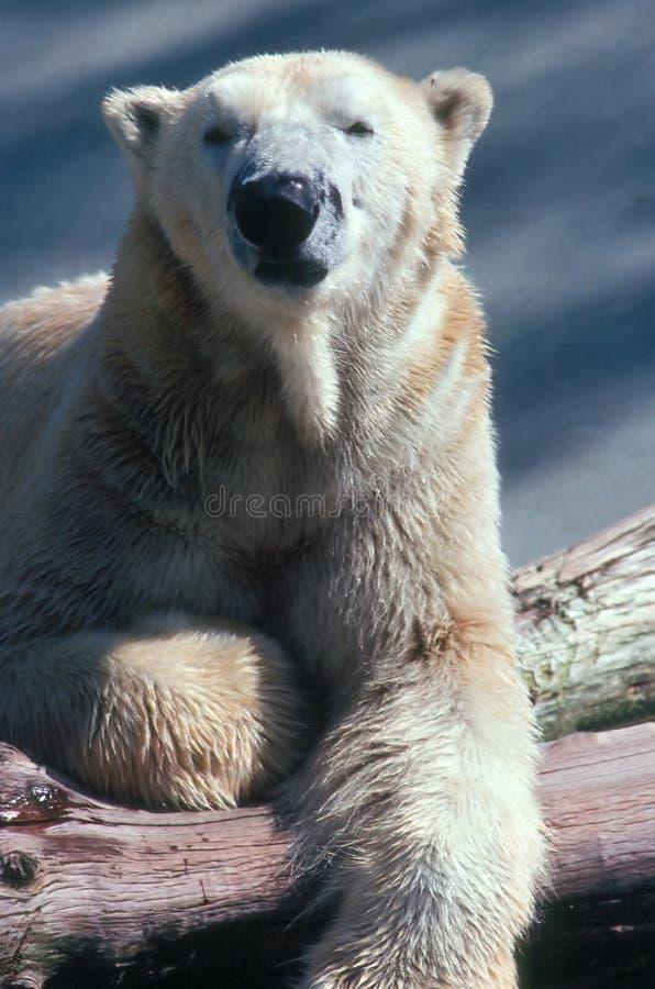 Ijsbeer royalty-vrije stock foto