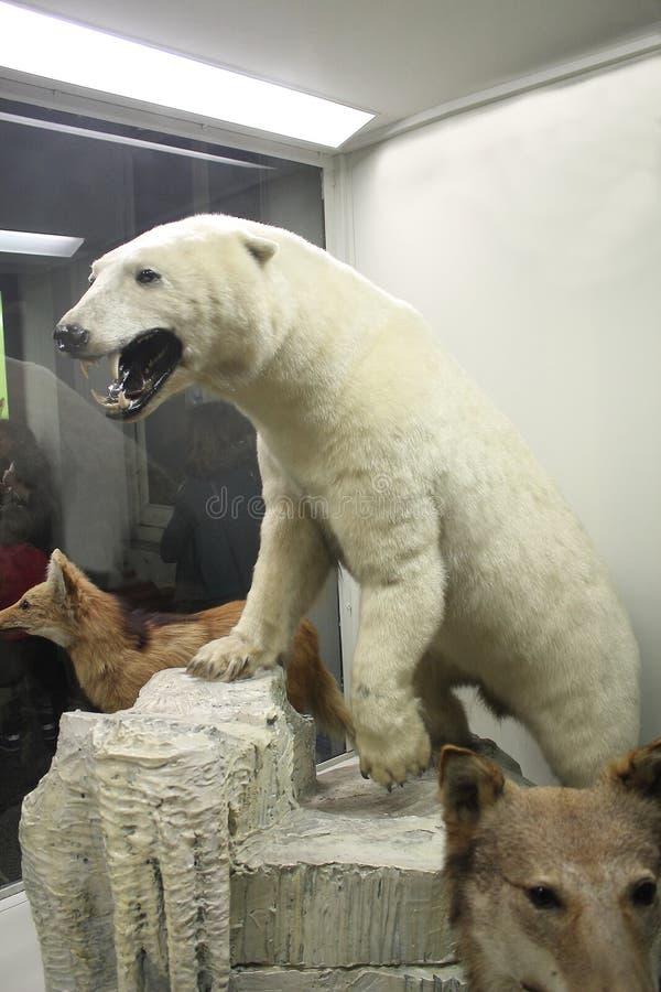 Ijsbeer bij het Biologiemuseum royalty-vrije stock foto's