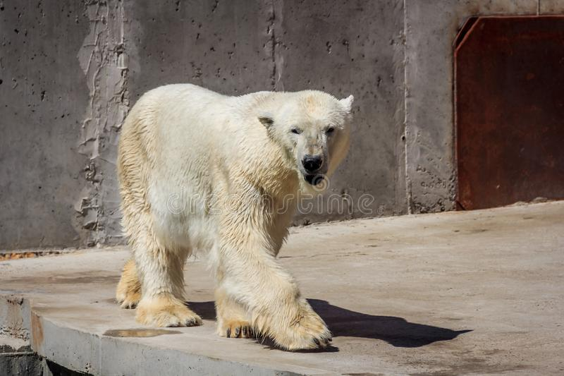 Ijsbeer in de dierentuin, ijsbeer in gevangenschap stock foto's