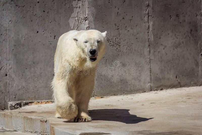 Ijsbeer in de dierentuin, ijsbeer in gevangenschap royalty-vrije stock foto