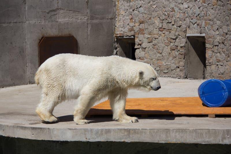 Ijsbeer in de dierentuin, ijsbeer in gevangenschap royalty-vrije stock fotografie