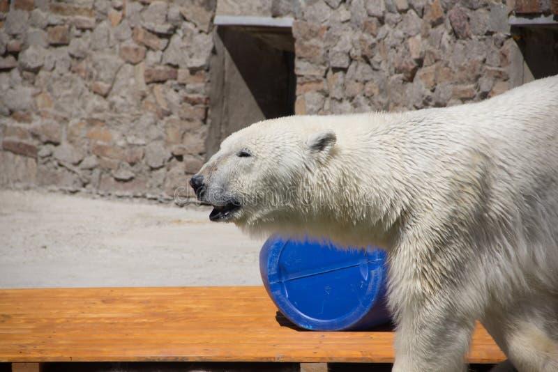 Ijsbeer in de dierentuin, ijsbeer in gevangenschap royalty-vrije stock afbeeldingen