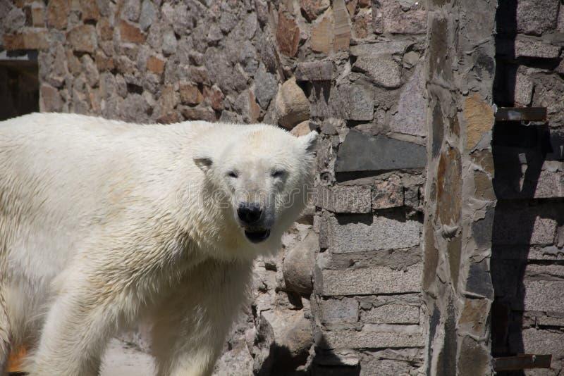 Ijsbeer in de dierentuin, ijsbeer in gevangenschap royalty-vrije stock afbeelding