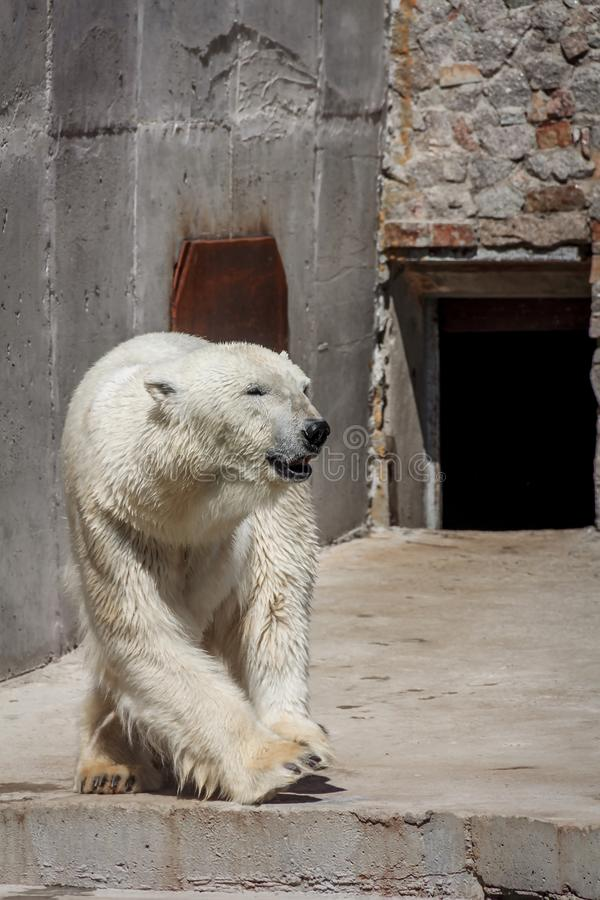 Ijsbeer in de dierentuin, ijsbeer in gevangenschap royalty-vrije stock foto's