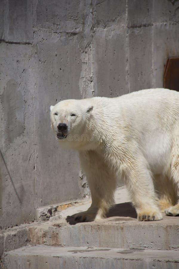 Ijsbeer in de dierentuin, ijsbeer in gevangenschap stock afbeelding