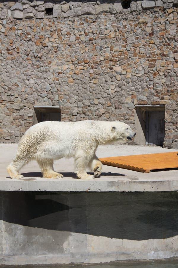 Ijsbeer in de dierentuin, ijsbeer in gevangenschap stock afbeeldingen