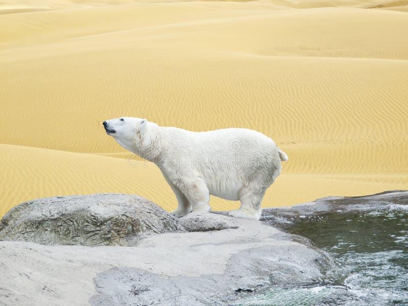 Ijsbeer die door woestijnzand wordt omringd royalty-vrije stock foto's
