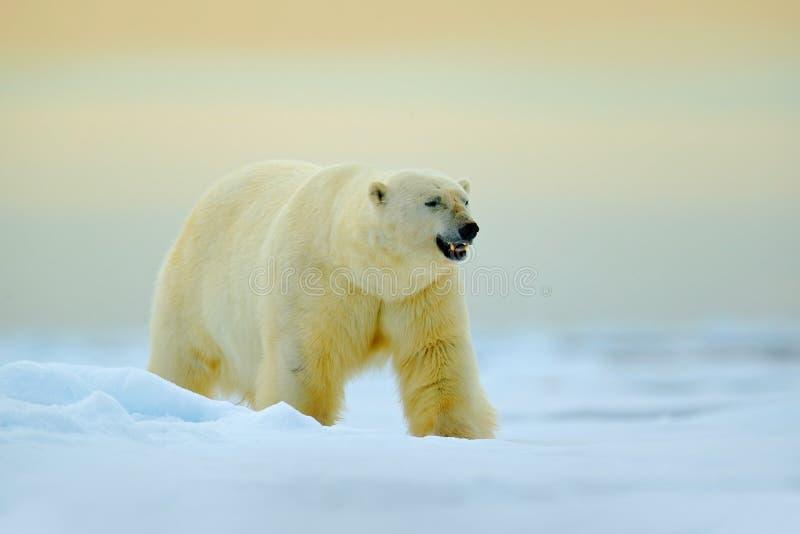 Ijsbeer die op afwijkingsijs lopen met sneeuw Wit dier in de aardhabitat, Rusland Gevaarlijke ijsbeer in het koude overzees polai royalty-vrije stock afbeeldingen