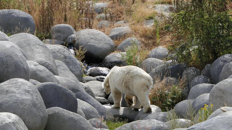 Ijsbeer die op rotsen lopen royalty-vrije stock afbeelding