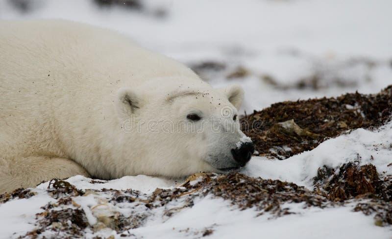 Ijsbeer die in sneeuw in de toendra liggen canada Churchill Nationaal Park royalty-vrije stock foto