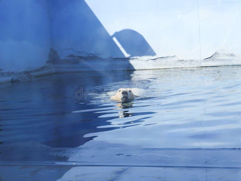 Ijsbeer die tussen concrete muren zwemmen stock foto's