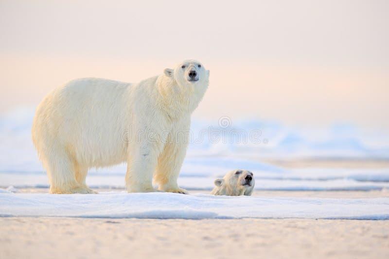 Ijsbeer die in water zwemmen Twee dragen speel op afdrijvend ijs met sneeuw Witte dieren in de aardhabitat, Alaska, Canada stock afbeelding