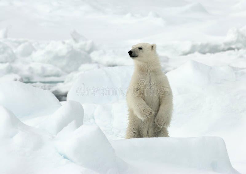 IJsbeer, Eisbär, Ursus maritimus lizenzfreies stockfoto