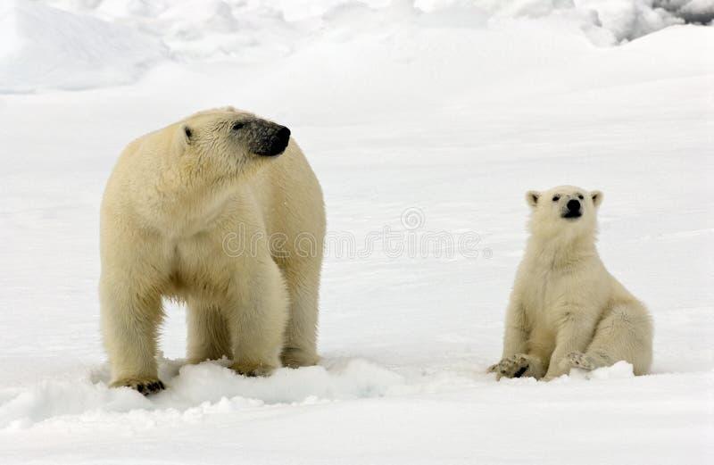 IJsbeer, Eisbär, Ursus maritimus stockbild