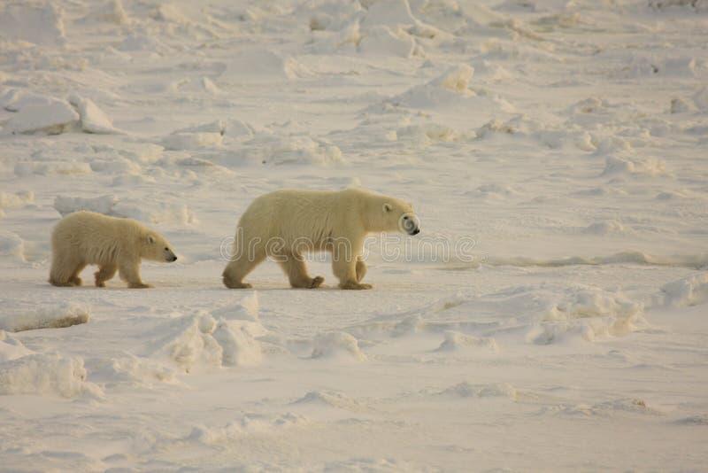 Ijsbeer en de welp van de moeder de in het noordpoolgebied stock afbeelding