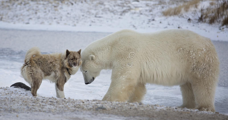 Ijsbeer en hond stock foto