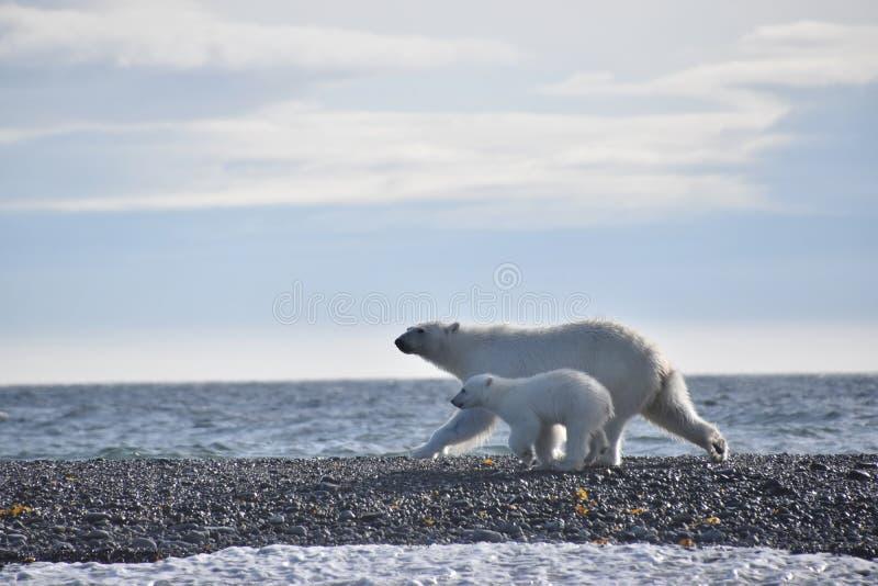 Ijsbeer en welp die langs het water in Svalbard lopen stock foto