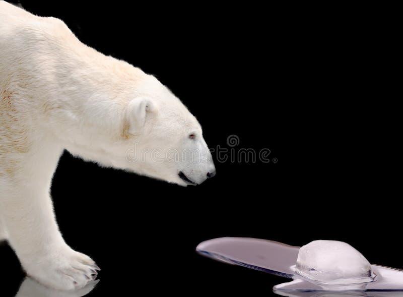 Ijsbeer het letten op smeltend ijs stock foto's