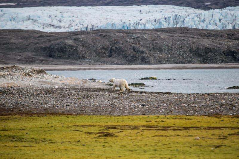 Ijsbeer in het noordpoolgebied royalty-vrije stock afbeeldingen
