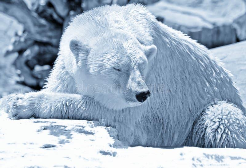 Ijsbeer in het Noordpoolgebied stock foto
