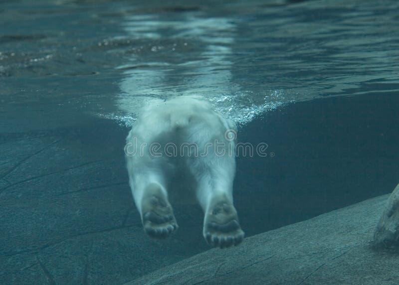 Ijsbeer het zwemmen stock foto