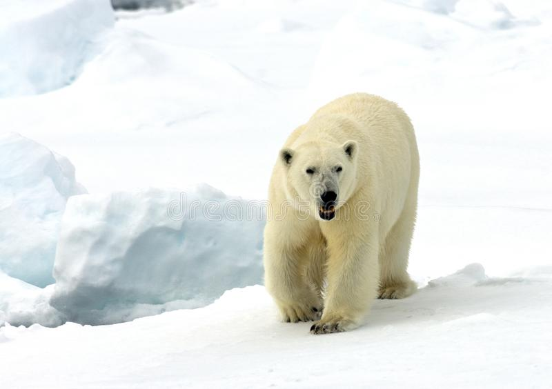 IJsbeer isbjörn, Ursusmaritimus arkivbilder