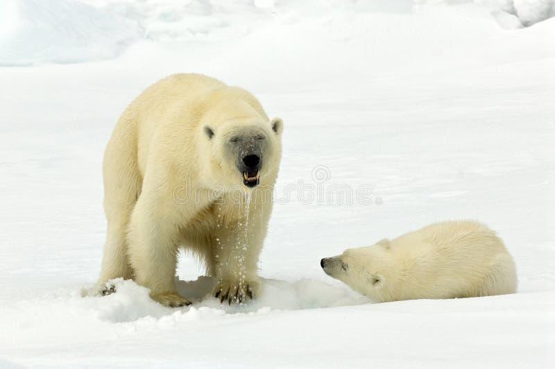 IJsbeer isbjörn, Ursusmaritimus royaltyfria bilder