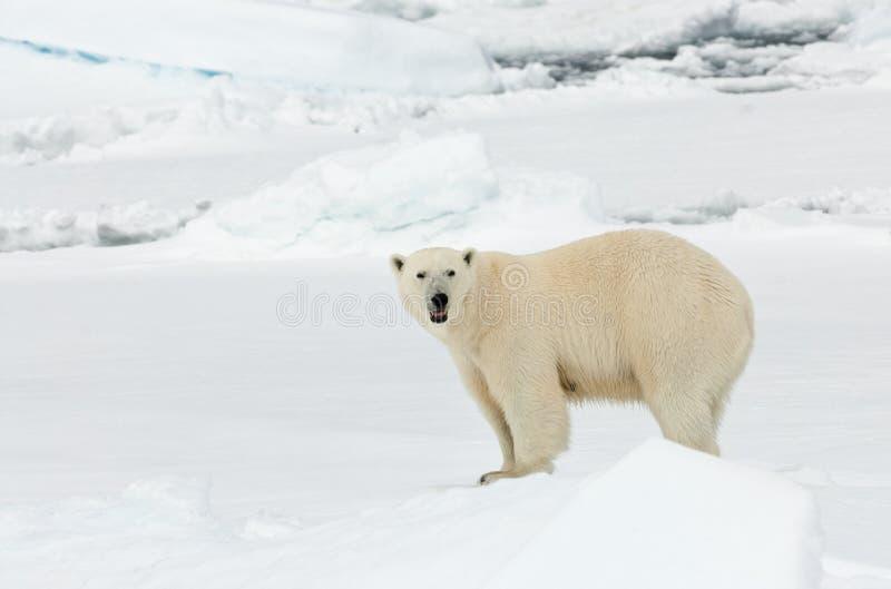 IJsbeer isbjörn, Ursusmaritimus arkivfoton