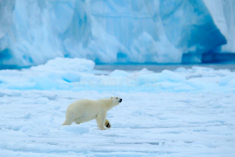 Ijsbeer met blauwe ijsberg Mooie witerscène met ijs en sneeuw Ijsbeer op afwijkingsijs met sneeuw, wit dier in natu stock fotografie