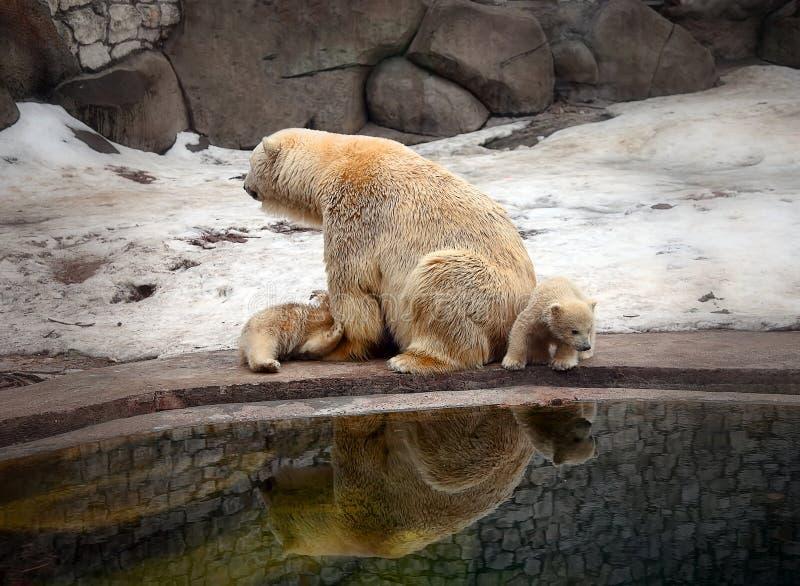 Ijsbeer met welpen royalty-vrije stock foto's
