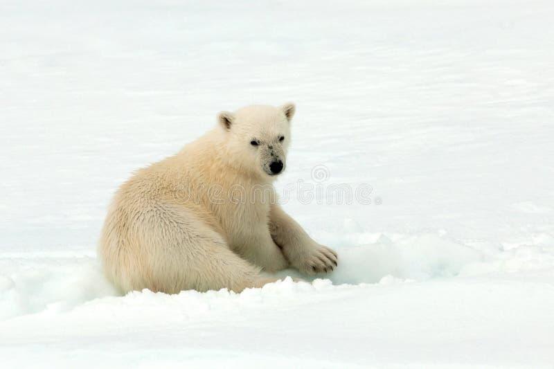 IJsbeer, niedźwiedź polarny, Ursus maritimus zdjęcie royalty free