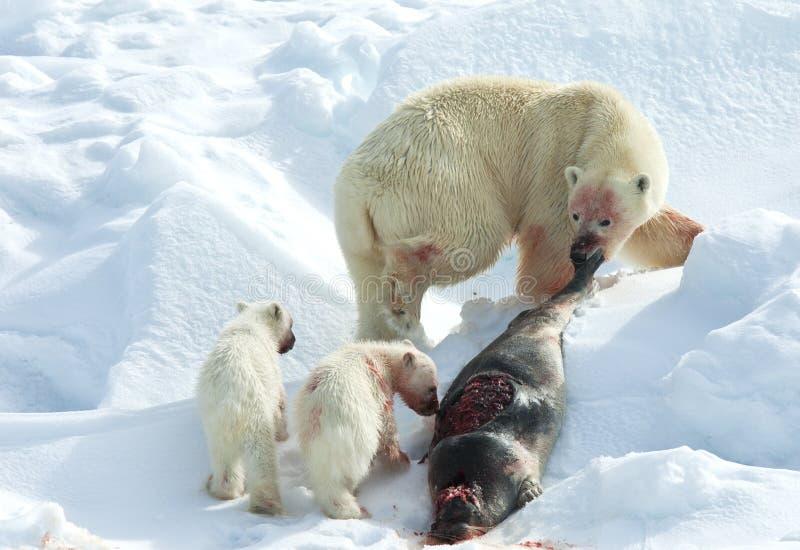 IJsbeer, niedźwiedź polarny, Ursus maritimus obraz royalty free