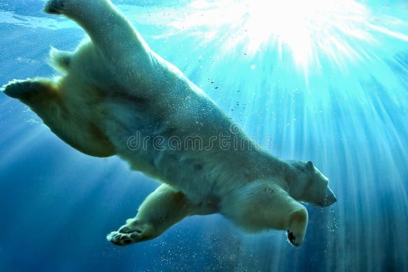 Ijsbeer onderwater zwemmen stock fotografie