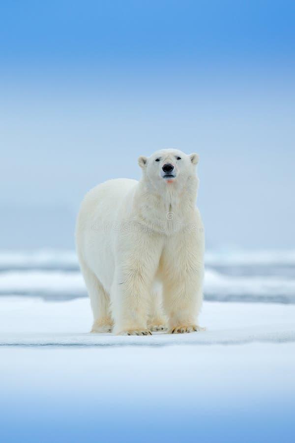 Ijsbeer op de rand van het afwijkingsijs met sneeuw en water in overzees Wit dier in de aardhabitat, Noord-Europa, Svalbard, Noor stock afbeeldingen